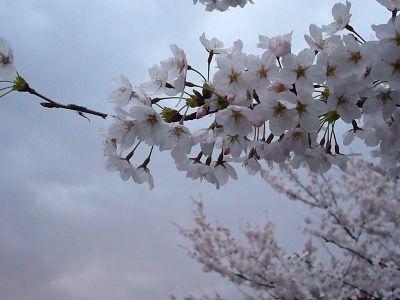 高田城址公園の桜サクラさくら20070414