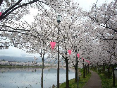 高田城址公園の桜サクラさくら南堀20070415
