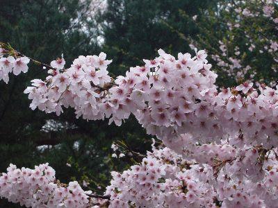 高田城址公園の桜サクラさくら20070417