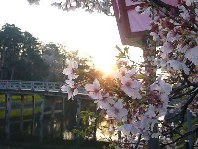 高田城址公園の桜サクラさくら200704201