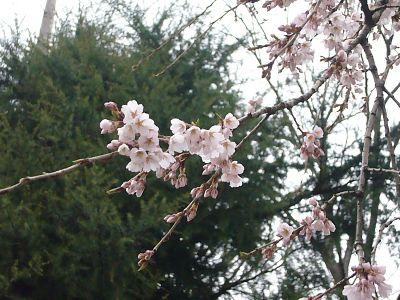 枝垂れ桜榊神社20070402