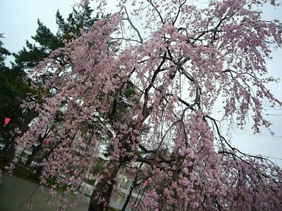 枝垂れ桜2007040301