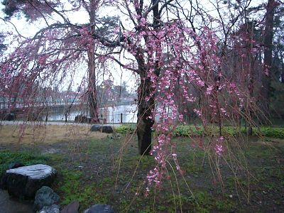 枝垂れ桜2007040302