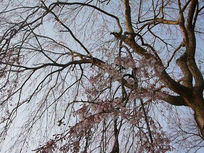 忠霊塔前の枝垂れ桜20070407.jpg