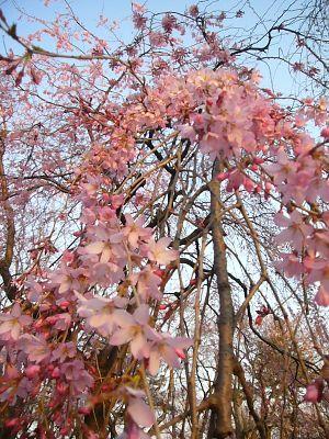 忠霊等近くの紅枝垂れ桜20070407