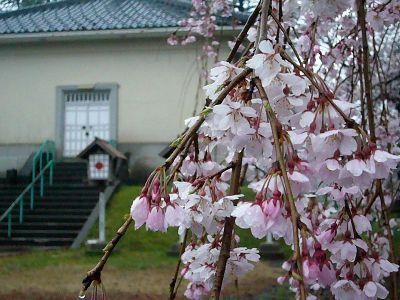 枝垂れ桜20070411
