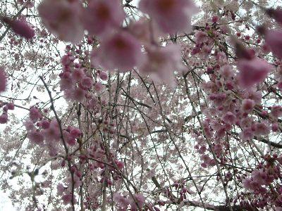 高田城址公園のベニシダレ20070415