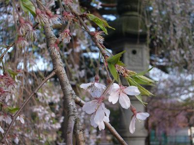 灯籠前のしだれ桜