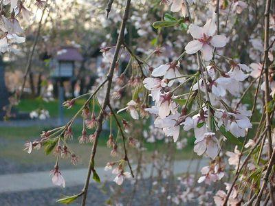 恋する枝垂れ桜
