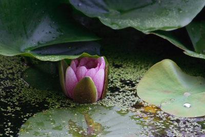 小さな蓮の花