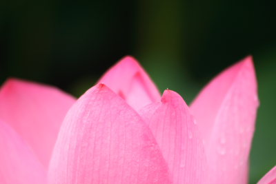 綺麗なピンクの蓮