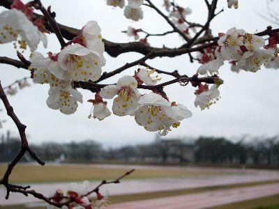 高田城址公園早咲き桜サクラさくら2007.03.25