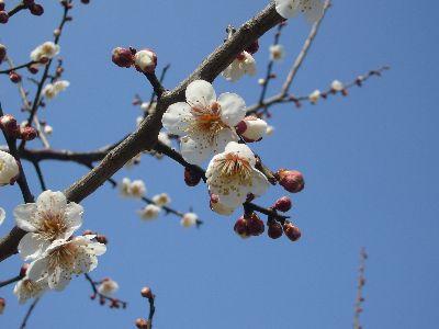 我が家の梅の花