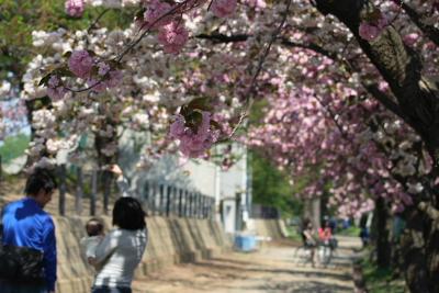 高田城址公園の八重桜(ぼたん桜)20040430