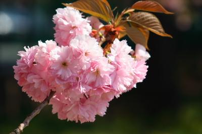 八重桜2004043