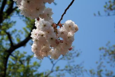 高田城址公園の八重桜(ぼたん桜)20070502