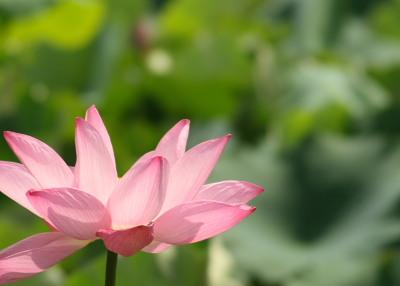 光に輝くはすの花